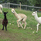2. Internationale Alpaca Zuchtschau 2015